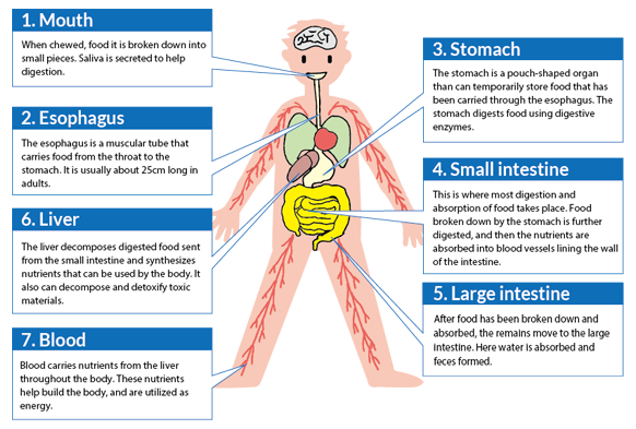 Digestion And Absorption Begin At The Mouth Where Food Is Chewed And Swallowed From There It Moves Down The Esophagus Food Pipe To The Stomach